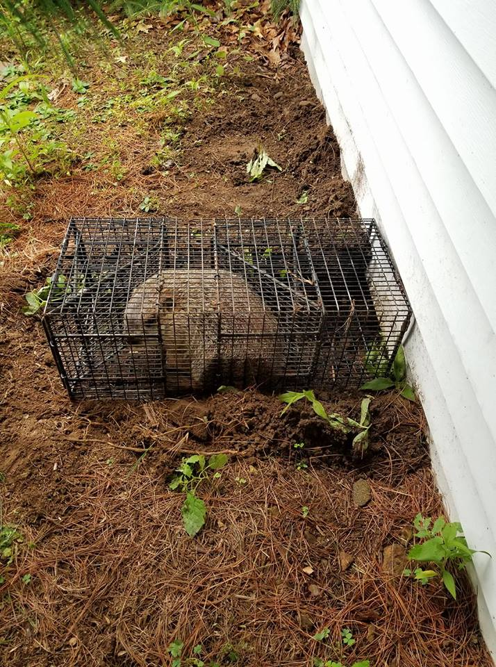 Woodchucks / Groundhog Removal