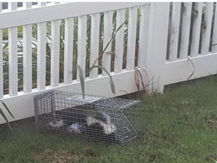 skunk in a trap in a backyard