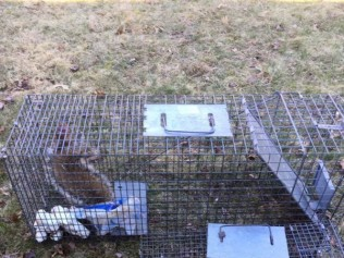 ground hog  in a trap in a backyard
