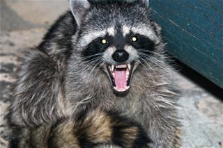 Raccoon Trapping and Removal